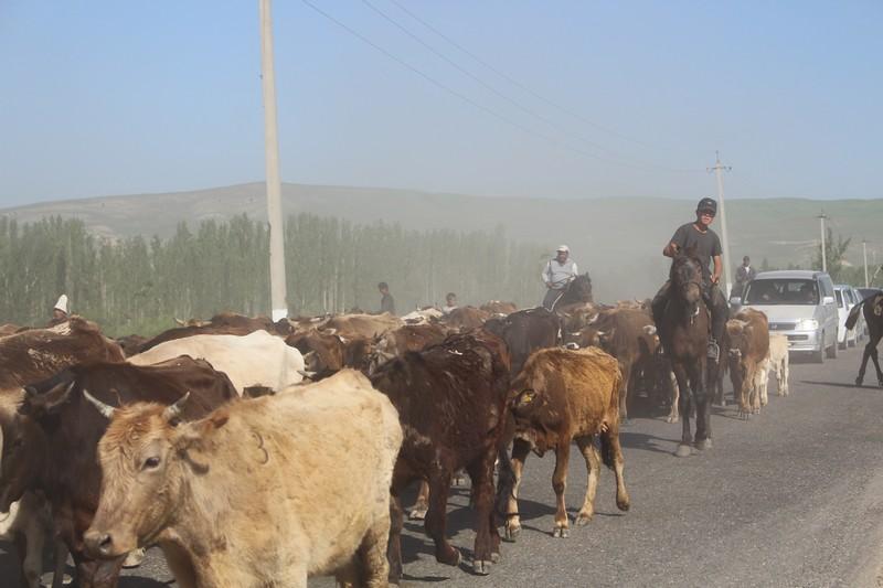 Abenteuer Osten: Rinderherde in Kirgisistan